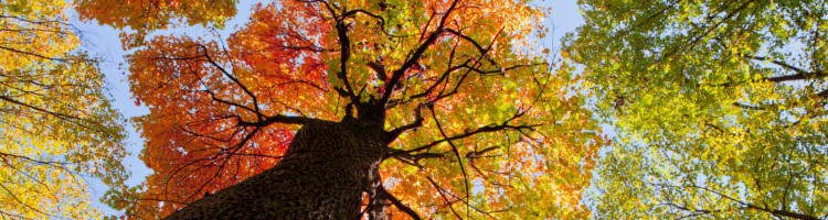 Looking up to the branches and fall leaves of a tall tree. The leaves are colored yellow, red, and green.