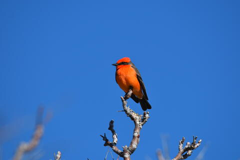 Red bird in front of a blue sky