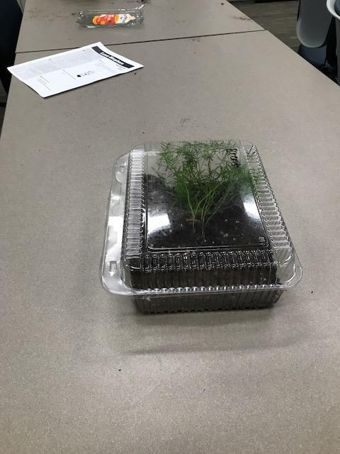Leafy green growing inside plastic take-out container