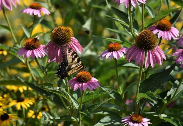 bees and butterflies flying around purple coneflowers in a garden