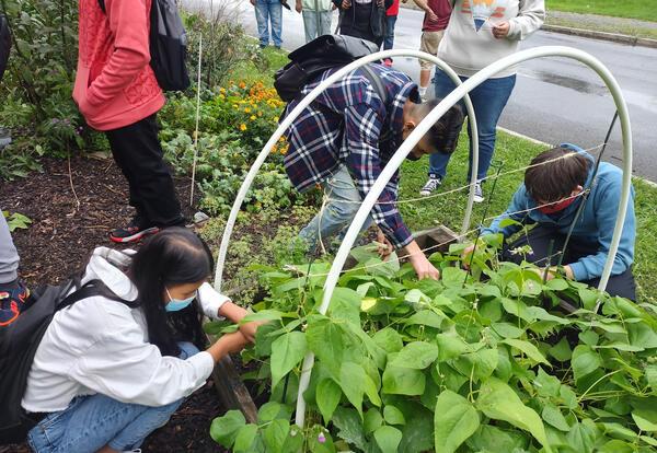 Three students pick radishes in the school garden