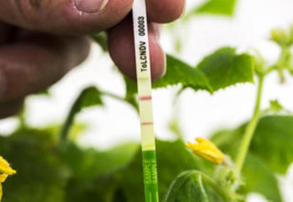 New ImmunoStrip® Commercialized By Agdia for Detection of Devastating Cucurbit and Tomato Virus