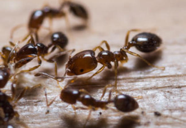 Agdia Commercializes Ten Minute Identification Kit for Red Imported Fire Ant