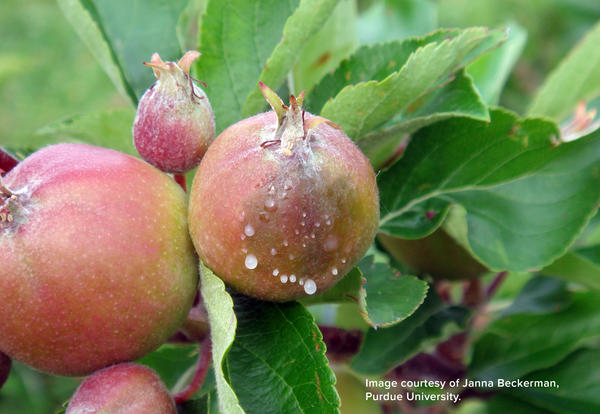 Agdia Releases New ELISA Assay for Detection of Fire Blight Pathogen on Apple and Pear.