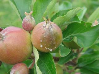 Bacterial ooze exuding from young apple fruit