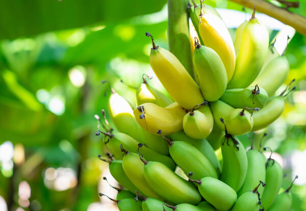 Ripe and green banana bunch on tree