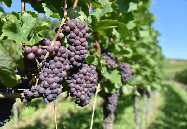 Pinot gris grape bunches on grapevine