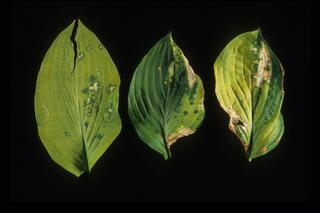 TRV symptoms on Hosta leaf