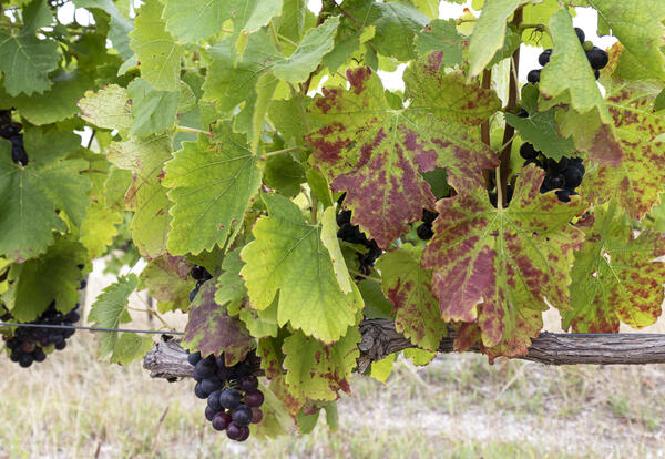 Grape leaves with grapevine leafroll symptoms