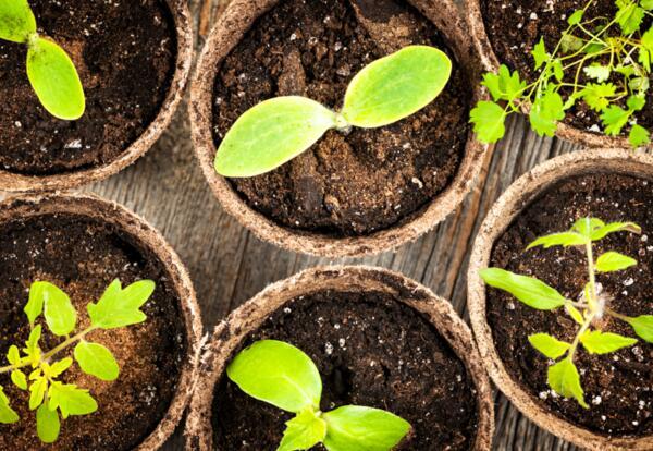 Seedlings in peat moss pots