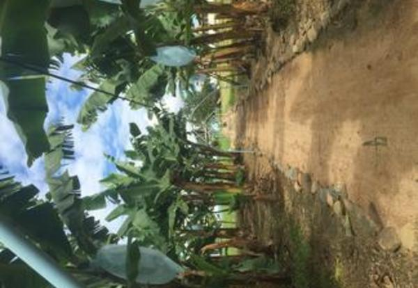 Banana Farm - GU winter term - belize