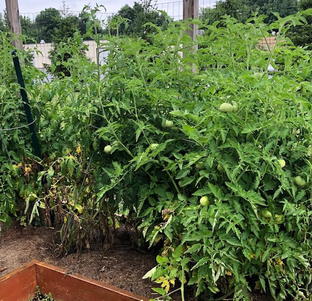photo of tomato plants in a garden