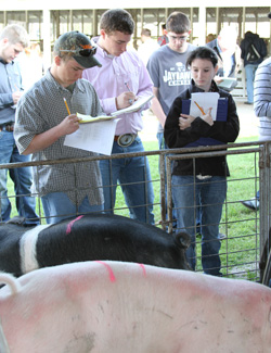 Students Judging Cows at Livestock Contest