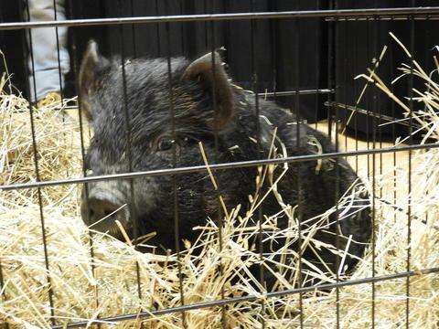 West End Memorial Principal Myers Kisses a Pig-78