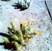 Small cactus with flower picture