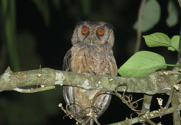 Sister Dorothy Stang and the Xingu Screech-Owl